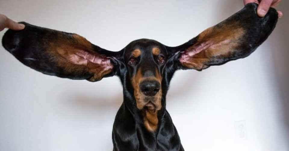 В Книгу рекордов Гиннеса попала собака с самыми большими ушами