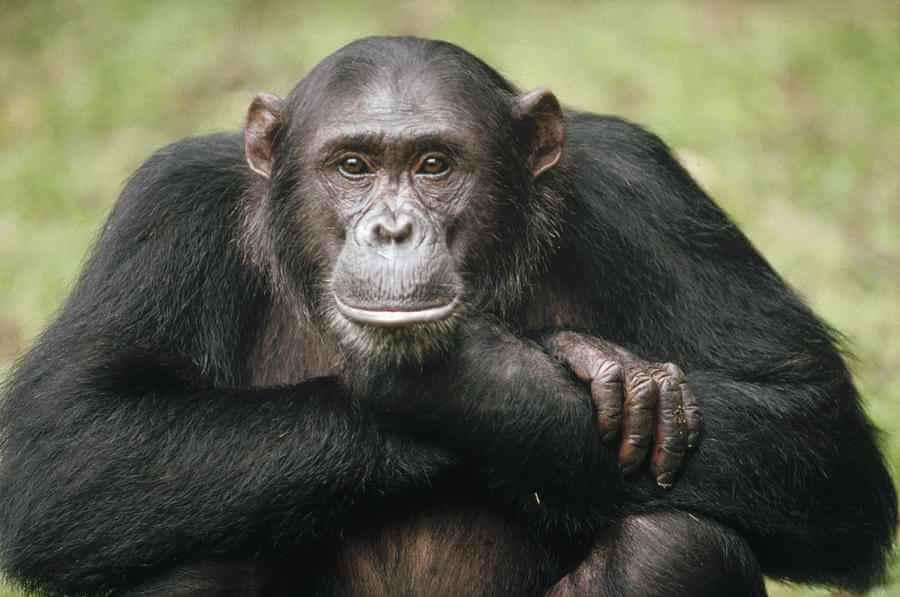 Live Science: у двух видов шимпанзе выявили проказу